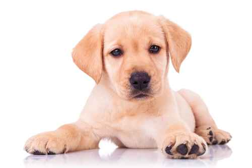 adorable seated labrador retriever puppy dog